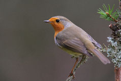 Robin portrait. The picture was taken form a hide in Hungary Royalty Free Stock Photography