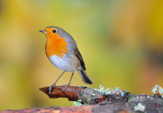 Robin posing. Robin perched on a tree Royalty Free Stock Photography