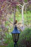 Robin Posing op een Licht stock foto's