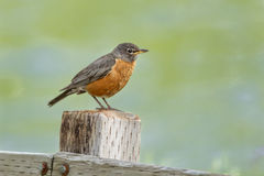 Robin on post. Royalty Free Stock Photo