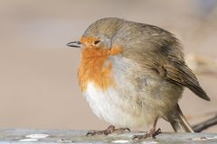 A robin puffed up against cold weather on Southampton Common royalty free stock photos
