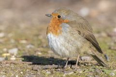 A robin puffed up against cold weather on Southampton Common royalty free stock photography