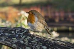 Robin Puffing His Feathers Up su una mattina fredda di inverno Immagine Stock