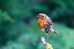 Robin after a quick wash in birdbath Royalty Free Stock Images
