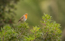 Robin in the rain Royalty Free Stock Images