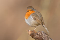 Robin readbreast. A robin redbreast sitting on a bough Royalty Free Stock Photo
