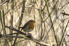 Robin readbreast sitting on a twig Royalty Free Stock Image