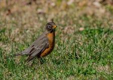 Robin recherchant la nourriture dans une cour du Tennessee Image stock