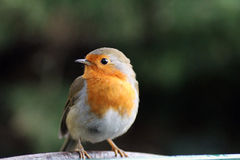 Robin Red Breast Royaltyfri Bild