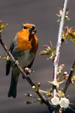 Robin Red Breast Royaltyfri Foto