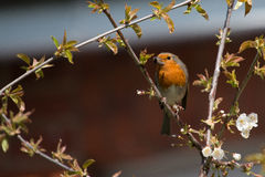 Robin Red Breast Stockbild