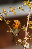 Robin Red Breast Royaltyfria Bilder