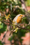 Robin Red Breast Royaltyfria Foton