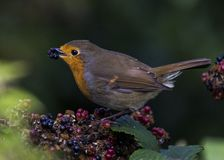 Robin Red Breast Lizenzfreies Stockfoto