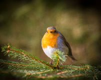 Robin Red Breast Royaltyfri Fotografi