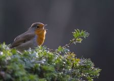 Robin Red Breast Fotografia Stock