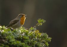 Robin Red Breast Imagem de Stock