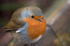Robin red breast. Puffed-up to stay warm Royalty Free Stock Images