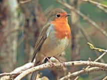 Pássaro vermelho do peito do pisco de peito vermelho Foto de Stock