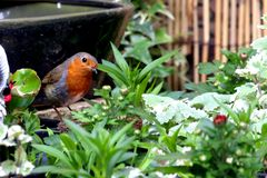 Robin red breast bird with food in beak perched in flowers Stock Image