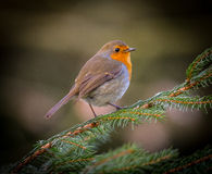 Robin red breast bird. On pine branch stock images