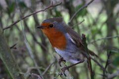 Robin Stock Image