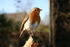 Robin. Red breast bird standing on a branch in the sun singing stock photo
