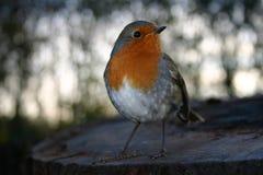 Robin Royalty Free Stock Image