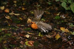 Robin. Red breast bird about to takeoff royalty free stock photos