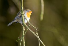 Robin red breast on  branch Stock Photos