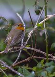 Robin Red Breast Royalty Free Stock Photo