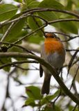 Robin Red Breast Royalty Free Stock Image