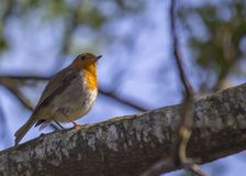 Robin Red Breast Stock Photography