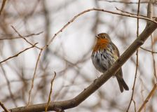 Robin Red Breast Stock Photo