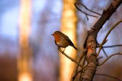 Robin red breast. Christmas bird tree uk wildlife cold winter small bird Royalty Free Stock Photo