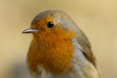 Robin Red breast close up royalty free stock photo