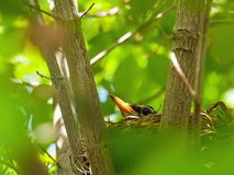 Robin Red Breast dans un nid dans un arbre de cornouiller Photo libre de droits