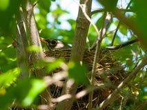 Robin Red Breast in een Nest in een Kornoeljeboom Royalty-vrije Stock Foto