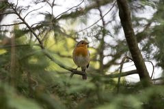 Robin Red Breast (Erithacus rubecula) Royalty Free Stock Images