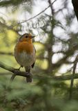 Robin Red Breast (Erithacus rubecula) Royalty Free Stock Photos