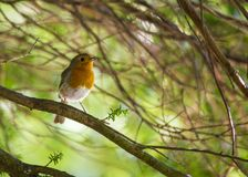 Robin Red Breast (Erithacus rubecula) Stock Images