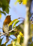 Robin Red Breast (Erithacus rubecula) Stock Photography
