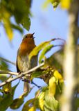 Robin Red Breast (Erithacus rubecula) Royalty Free Stock Photography