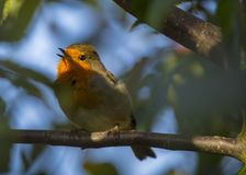 Robin Red Breast (Erithacus rubecula) Royalty Free Stock Image