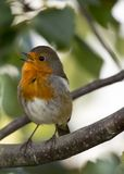 Robin Red Breast (Erithacus rubecula) Stock Image