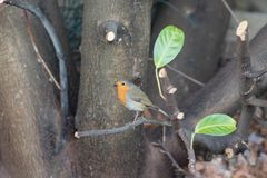 Robin Red Breast garden bird on newly pruned laurel tree. Adult Robin Red Breast Erithacus rubecula garden bird on newly pruned laurel tree branch royalty free stock image