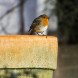 Robin Red Breast op de Pot Stock Foto's
