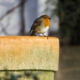Robin Red Breast på krukan Arkivfoton