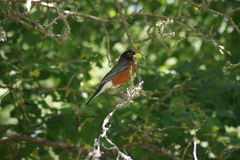 Robin Red Breast Perching Royalty Free Stock Images