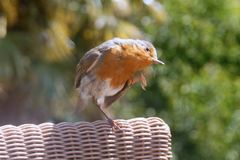 Robin Red Breast scratching Royalty Free Stock Photos